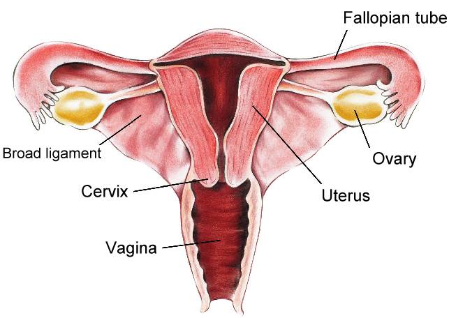 Normal gynecologic anatomy ccuart Image collections