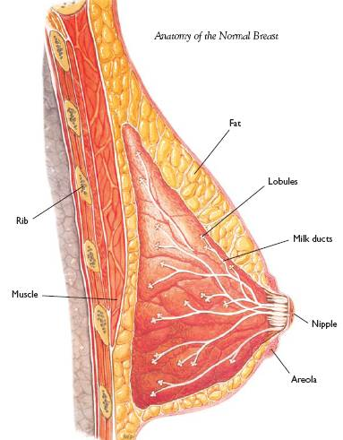 Breast Anatomy and Images