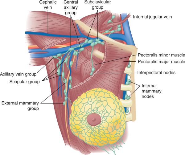 Neck Nodes Anatomy Diagram Enthusiast Wiring Diagrams