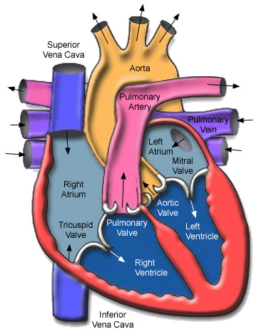 Funky Normal Cardiac Anatomy Gift - Anatomy And Physiology Biology ...