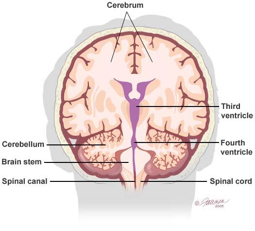 Brain Anatomy and Images Brain