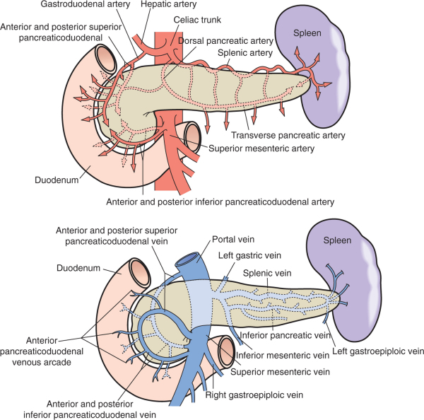 Anatomy Of The Pancreas