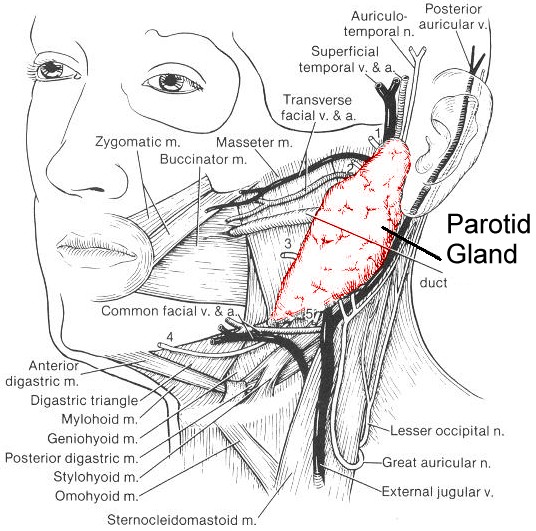 Parotid and Salivary Gland Cancer