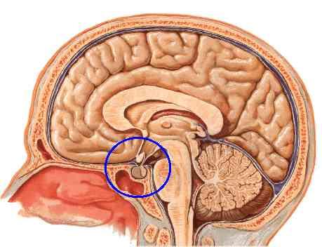 http://hrvatskifokus-2021.ga/wp-content/uploads/2016/11/www.aboutcancer.com_pituitary_anatomy_port.jpg
