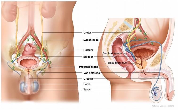 Prostate Anatomy