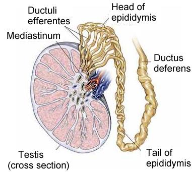 testicular anatomy, Cephalic Vein